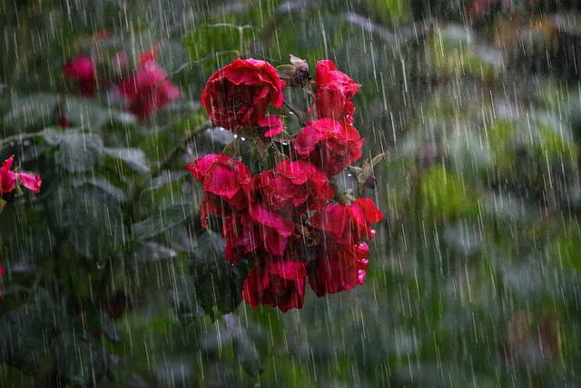 roses in heavy rain